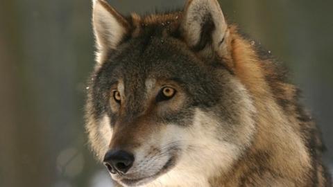 В Саратовской области объявлена охота на волков