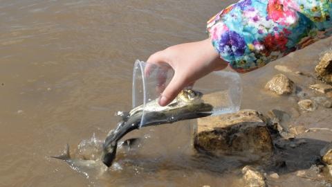 Участники акции «Золотая рыбка» выпустили в Волгу 55 тысяч мальков сазана и толстолобика