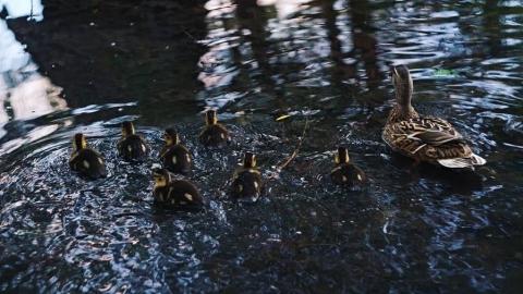 Дикая утка с семью утятами умилила посетителей горпарка