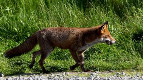 Популяция лис в Саратовской области снизилась до 13 тысяч