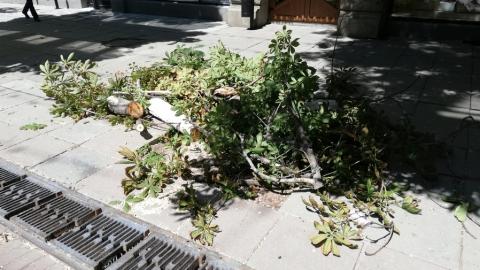 На проспекте Кирова начали пилить старые каштаны