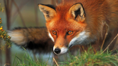 Поголовье лис в Саратовской области сократят почти на треть