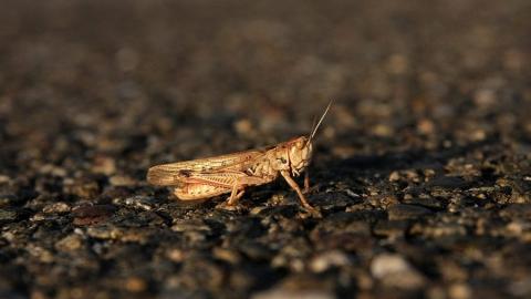 Опасную концентрацию личинок саранчи нашли в семи районах Саратовской области