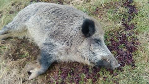 В Саратовской области открыта охота на кабана