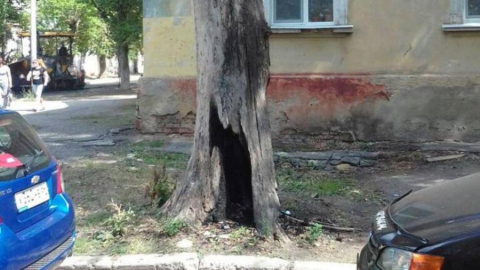 Саратовцы жалуются на опасное дерево у травмпункта и школы
