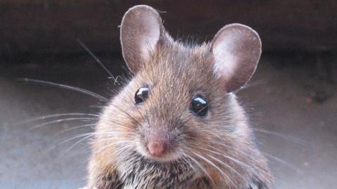 Жители Лесной Республики жалуются на бездействие властей из-за «мышиной лихорадки»