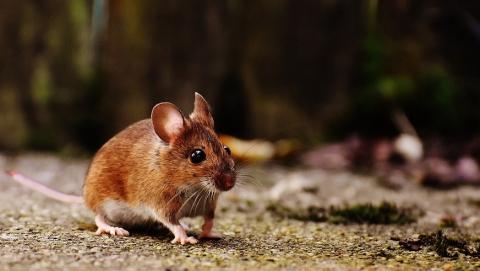 Роспотребнадзор: очаги мышиной лихорадки распространятся на дачи, дома и зернохранилища