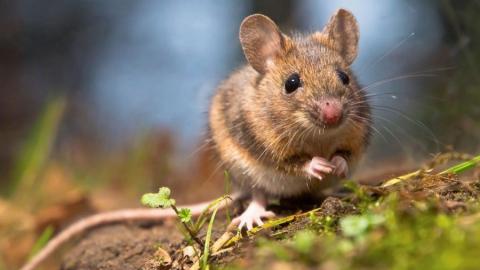 Следственный комитет начал проверку ситуации с мышиной лихорадкой после публикации ИА SaratovNews