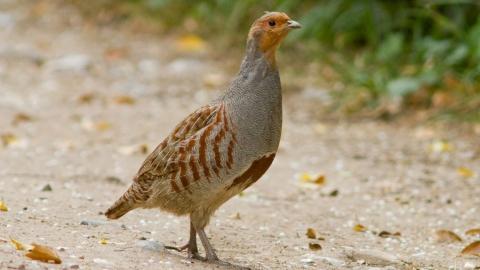 Охотники Саратовской области могут убить четыре куропатки в день