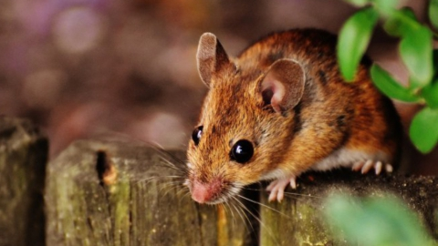 От мышиной лихорадки умер еще один саратовец