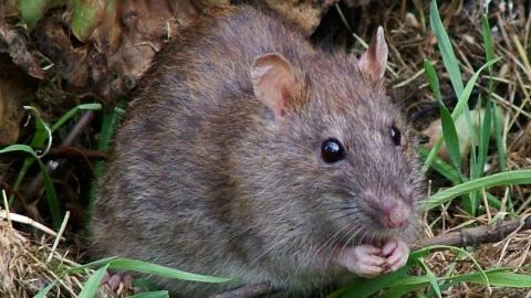 Нашествие крыс обнаружили в сквере Марины Расковой. Видео