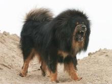 Саратовца ограбили с помощью бойцовской собаки