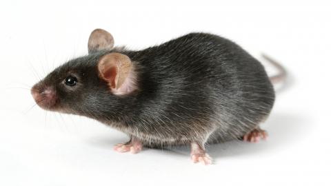 Активность «мышиной лихорадки» в регионе пошла на спад