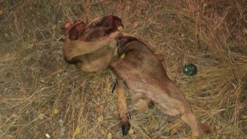 Балаковские активисты нашли шкуры разделанных животных и стали свидетелями