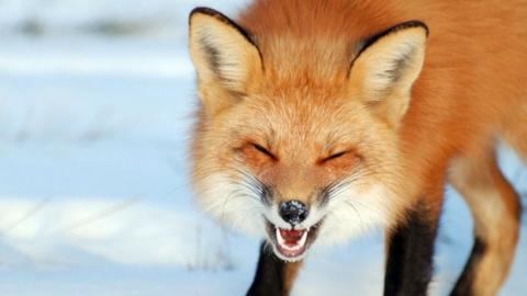Из-за бешеной лисы в Саратове введен карантин