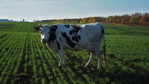 В полях между Солнечным и Юбилейным пасутся коровы