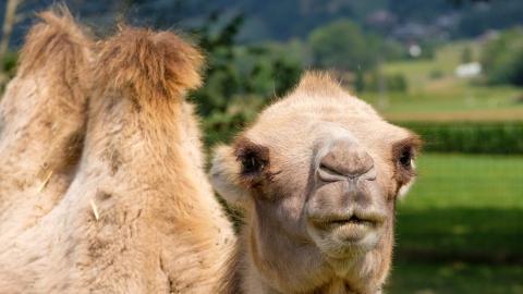 Верблюда на темной сельской дороге сбила «десятка». Ранены водитель и пассажир машины