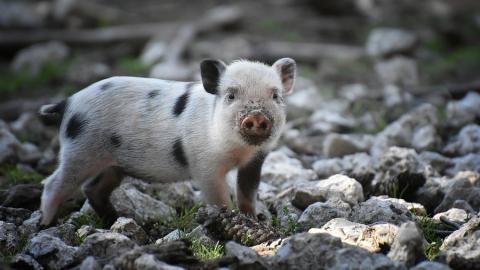 В Саратовской области нашли африканскую чуму свиней