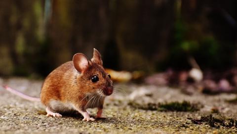 Число обращений саратовцев с подозрением на мышиную лихорадку понизилось в пять раз