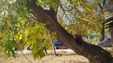 Чиновники пообещали SaratovNews помочь саратовскому пенсионеру спилить старое дерево