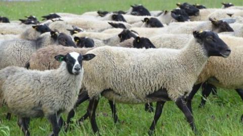 Пастух признался в краже овец у фермера в Саратовской области