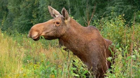 Браконьеры убили лосиху в Саратовской области