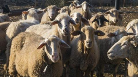 В Саратовской области угнали отару из ста овец