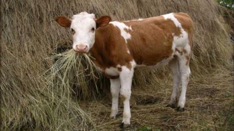 В Ленинском районе из грузовика выпал краденый теленок