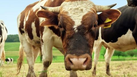 Сбежавший бык устроил ДТП в Советском районе