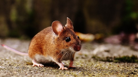 Роспотребнадзор предупреждает саратовцев о мышиной лихорадке