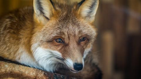 Почти 86 тысяч лис были отстрелены в Саратовской области за десять лет