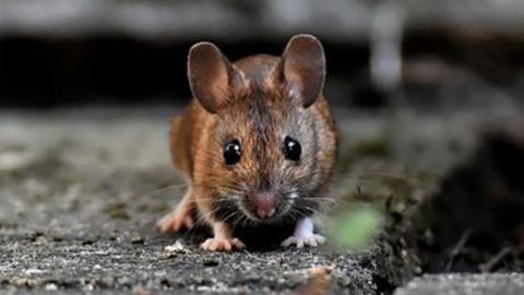 248 саратовцев заболели с начала зимы мышиной лихорадкой