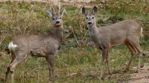 В Лысогорском районе задержаны браконьеры с двумя косулями
