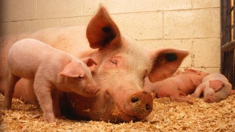 В Самойловском районе нашли трупы чумных свиней