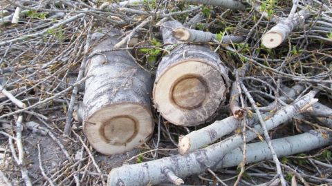 В Заводском районе Саратова уничтожают молодые тополя