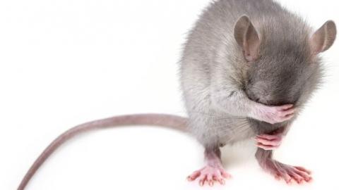 В Саратове в третий раз пытаются уничтожить мышей