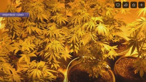 Саратовец вырастил в квартире 156 кустов конопли | ВИДЕО