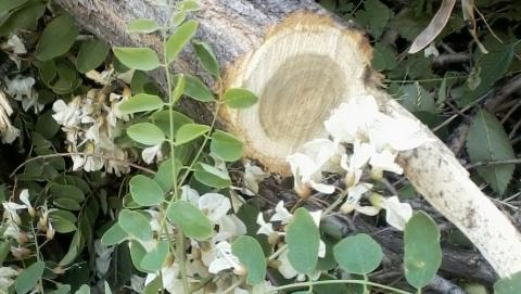 В Саратове уничтожают цветущую черёмуху и клён