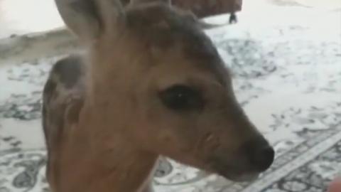 Найденный олененок разделил саратовцев на зоозащитников и гурманов