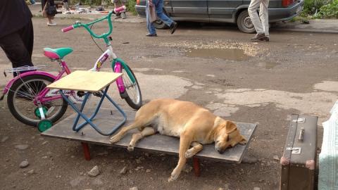 Автовладельцам Солнечного района досаждают бродячие собаки | ВИДЕО