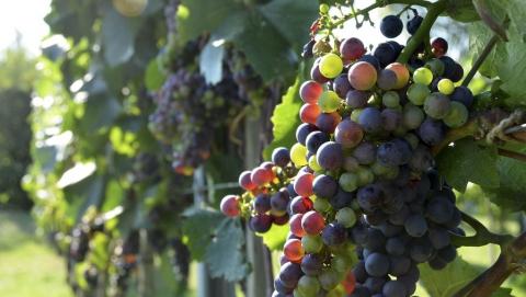 В Саратовской области пресекли ввоз винограда и сливы из Италии