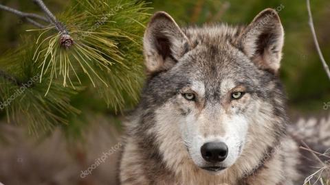 Из 42 саратовских волков убьют 16 до конца года