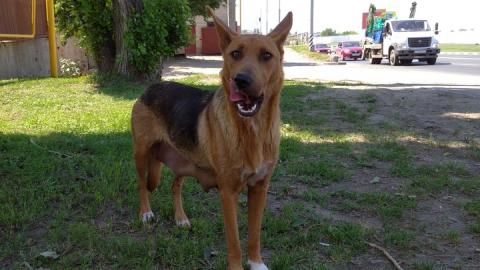 Бродячая собака искусала 12-летнюю девочку и пенсионера в Энгельсе