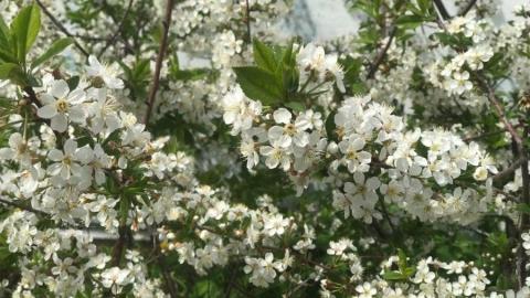 Экологи-эксперты выбрали кустарники для озеленения Саратова