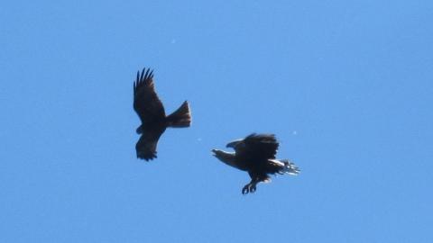 Саратовцам разрешили отстрел гусей и голубей