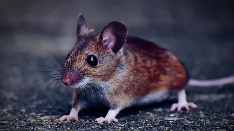 Саратовские мужчины чаще болеют мышиной лихорадкой