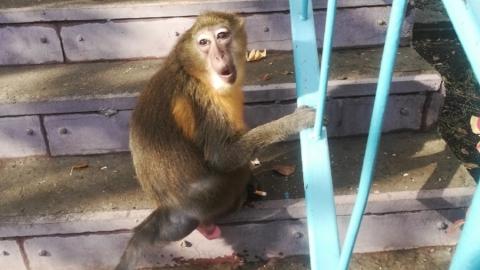 Свободолюбивая обезьяна сбежала от хозяев и покушала у соседки