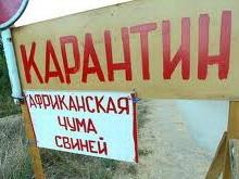 Африканская чума свиней вновь угрожает Саратовской области