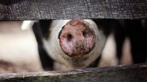 Свинья и кролики погибли в Новоузенске