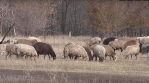 Серийные похитители овец задержаны в Энгельсской районе | ВИДЕО